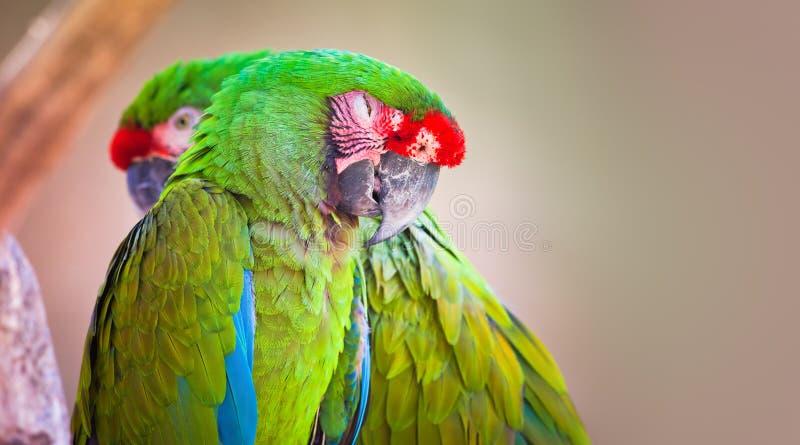 Pares de papagaios verdes foto de stock royalty free