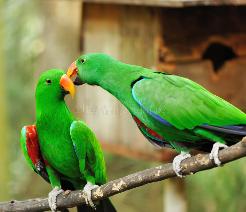Pares de papagaios verdes do eclectus foto de stock royalty free