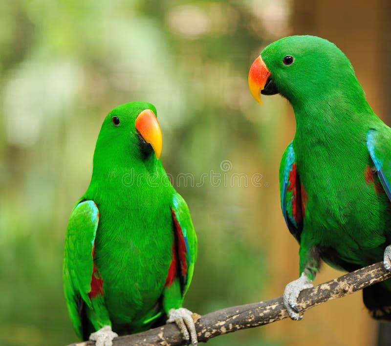 Pares de papagaios verdes do eclectus fotos de stock