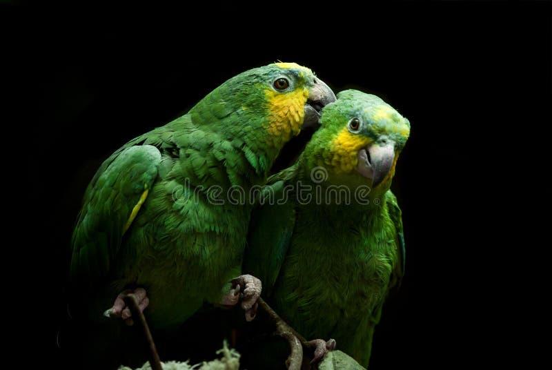 Pares de papagaios verdes no fundo escuro fotos de stock royalty free