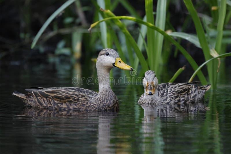 Pares de pato sarapintado em um rio de Florida imagem de stock royalty free