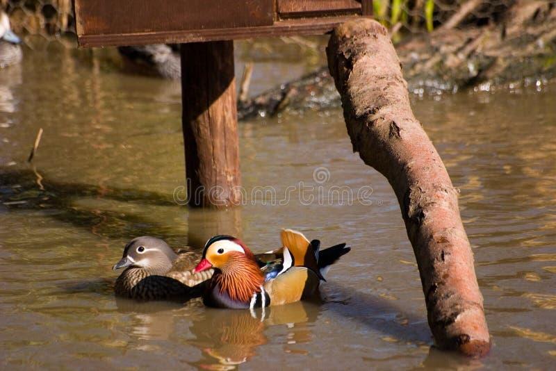 Pares de patos de mandarín imagen de archivo
