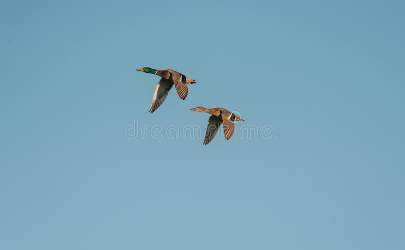 Pares de patos silvestres (platyrhynchos de las anecdotarios) imágenes de archivo libres de regalías