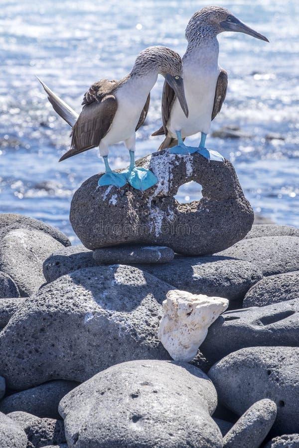Pares de peitos Azul-footed pelo mar 4 fotografia de stock