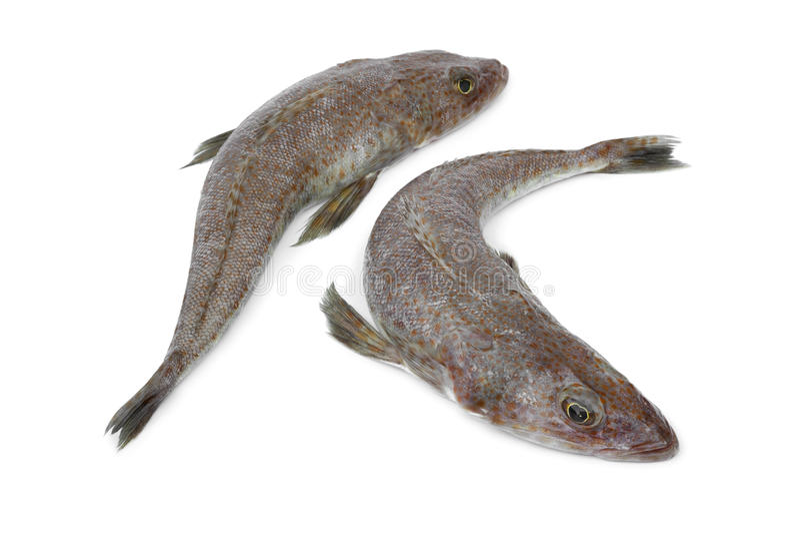 Pares de peixes flathead crus frescos imagem de stock royalty free
