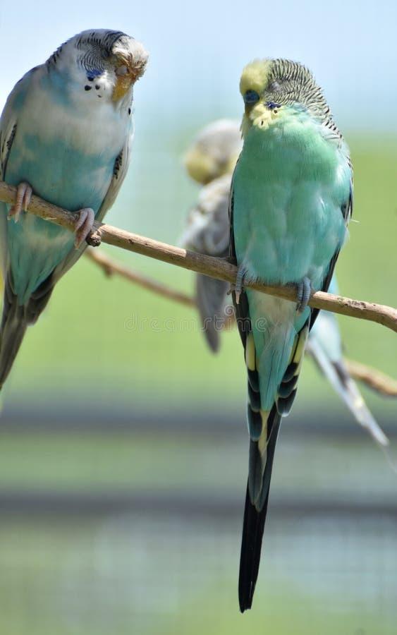 Pares de periquitos comunes en colores pastel en una rama fotografía de archivo
