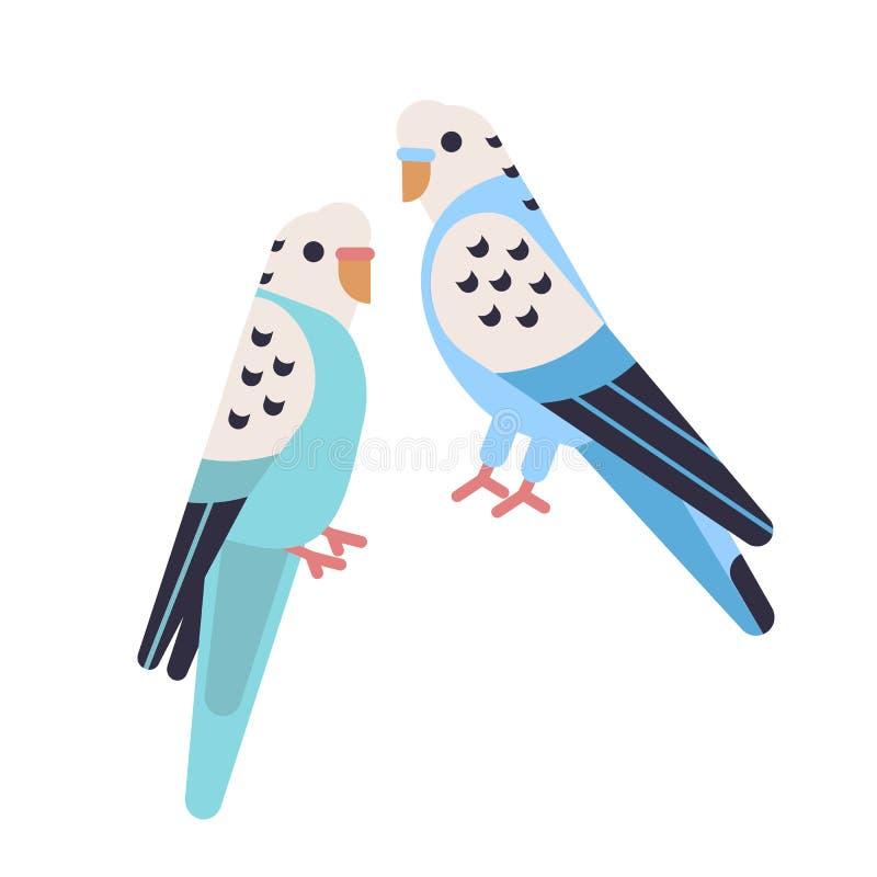 Pares de periquitos lindos aislados en el backgro blanco Budgies domesticados Periquitos divertidos Pájaros tropicales exóticos libre illustration
