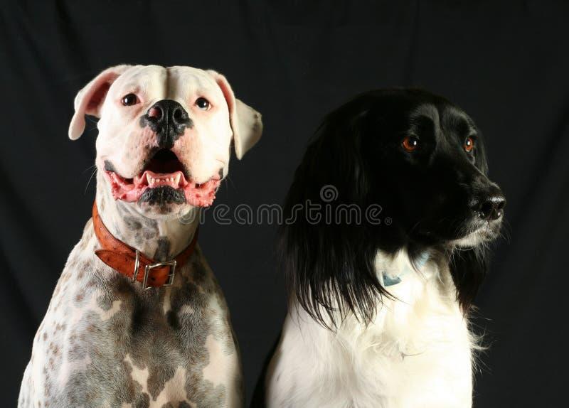 Pares de perros imagen de archivo libre de regalías