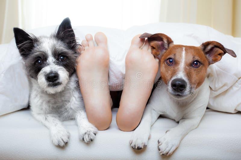 Pares de perros y del dueño fotografía de archivo