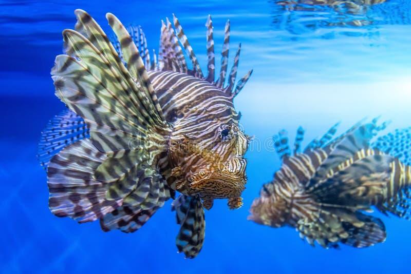 Pares de pescados peligrosos de la cebra del lionfish en agua de mar foto de archivo