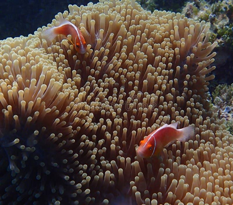 Pares de pescados tropicales brillantes en anémona grande bajo el agua fotos de archivo libres de regalías