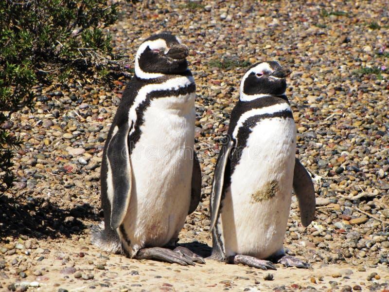 Pares de pingüinos que se colocan en la tierra en Puerto Madryn, la Argentina fotos de archivo libres de regalías