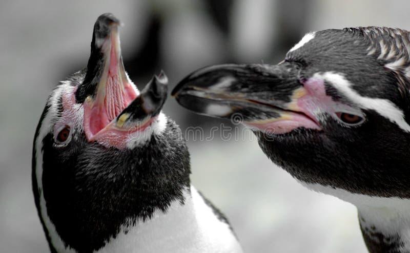 Pares de pinguins fotografia de stock