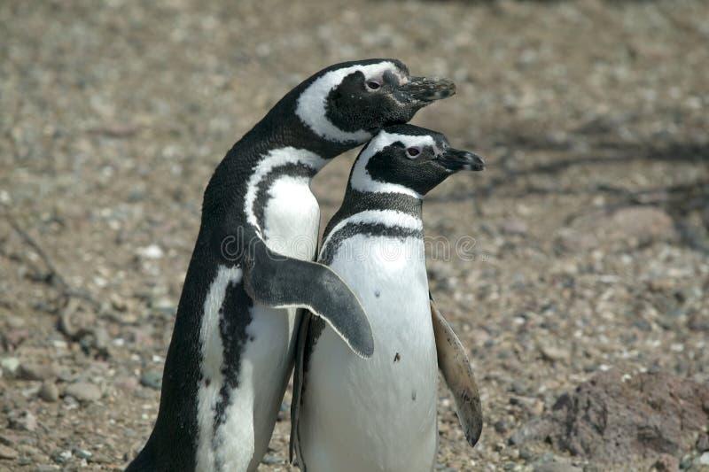 Pares de pinguins de Magellanic fotografia de stock royalty free
