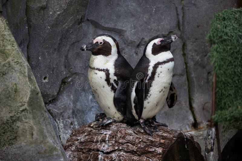 Pares de pinguins pequenos que tomam sol de volta à parte traseira imagens de stock royalty free