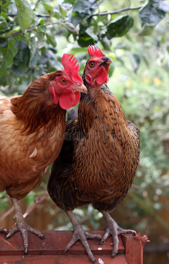 Pares de pollos imagen de archivo libre de regalías