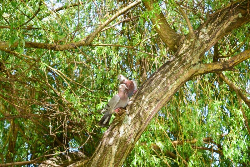 Pares de pombos em uma árvore foto de stock royalty free