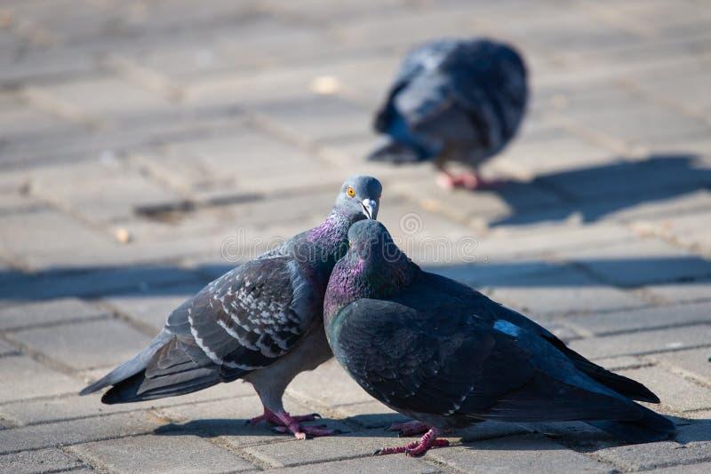 Pares de pombos na rua da cidade imagem de stock royalty free