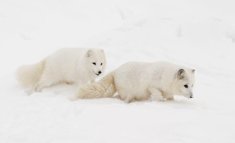 Pares de raposa ártica no monte da neve com o um que segue o outro dow fotos de stock royalty free