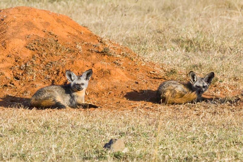 Pares de raposas Bastão-orelhudas ao lado do monte da térmita imagens de stock royalty free