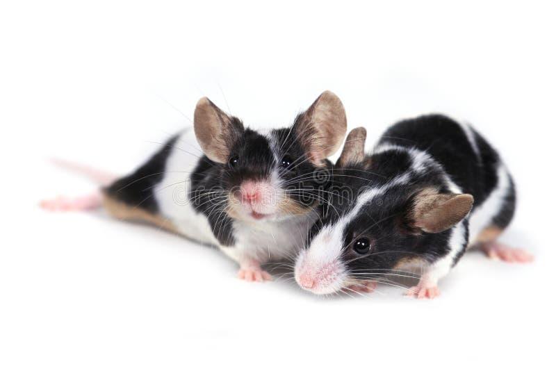 Pares de ratos fotografia de stock