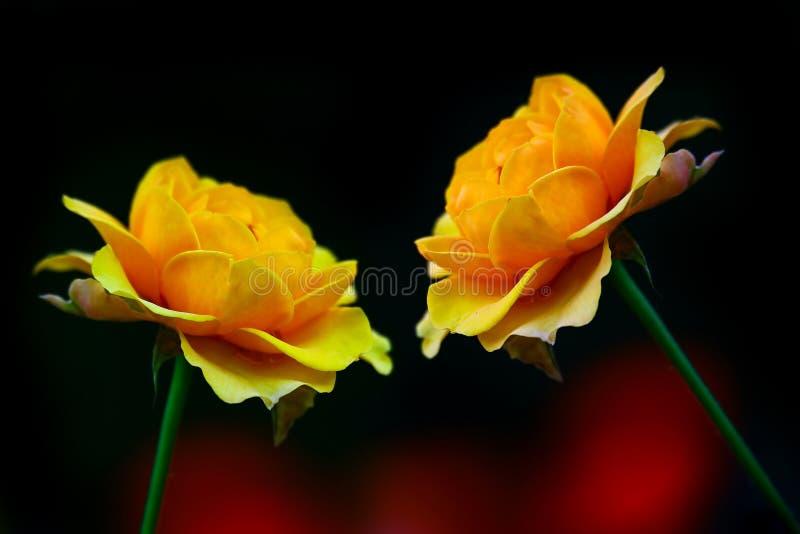 Pares de rosas alaranjadas amarelas atrativas contra o fundo escuro fotos de stock
