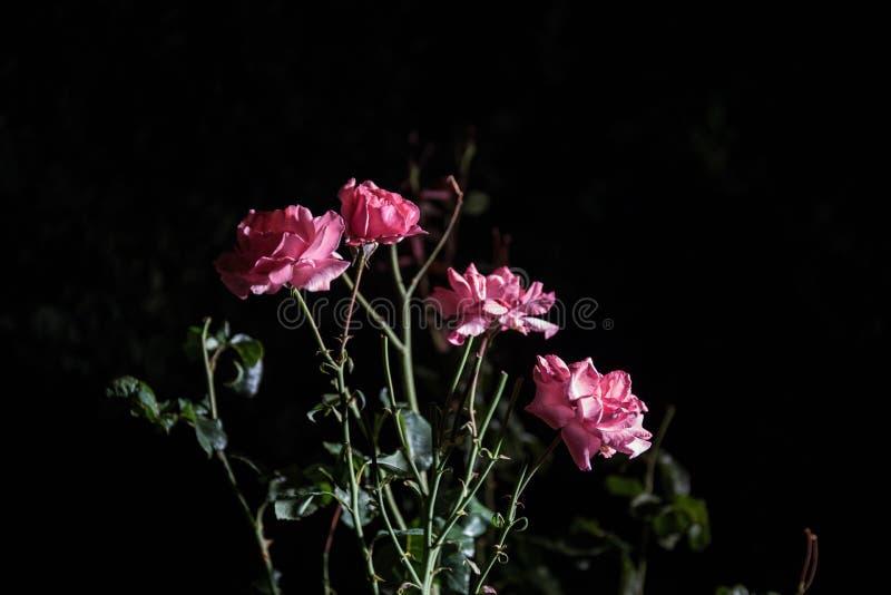 Pares de rosas cor-de-rosa isoladas no fundo preto foto de stock royalty free