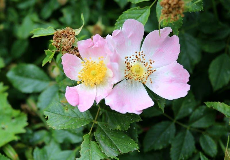 Pares de rosas crecientes salvajes con las flores rosadas, cierre para arriba imagen de archivo libre de regalías