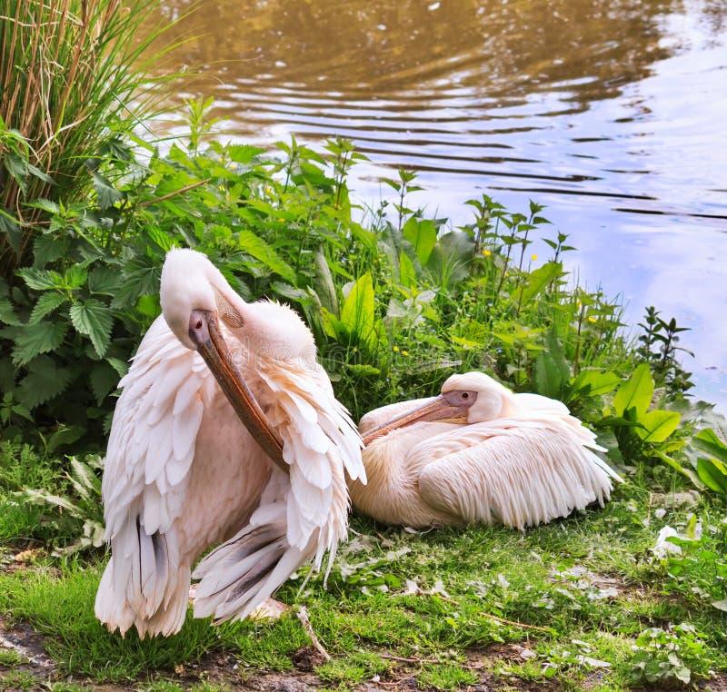 Pares de Rosy Pelicans imagem de stock royalty free