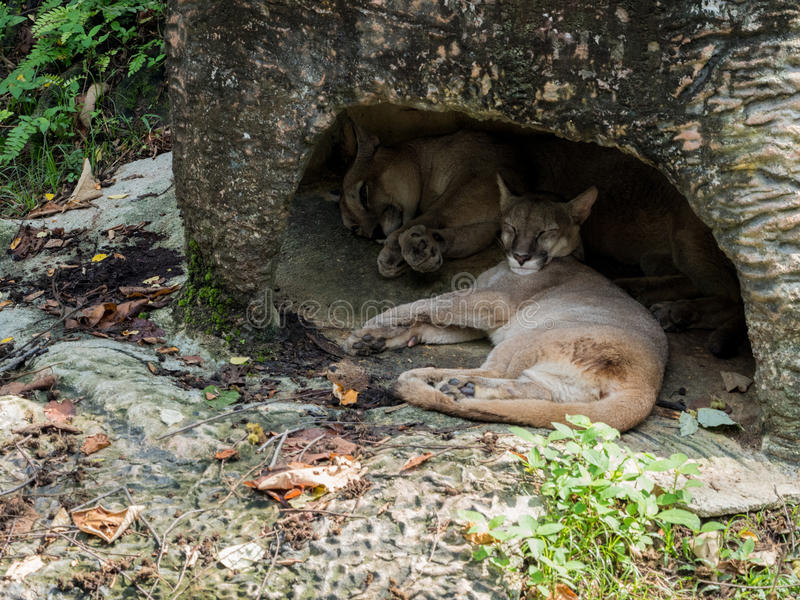 Pares de sono dos leões de montanha (puma) fotografia de stock royalty free