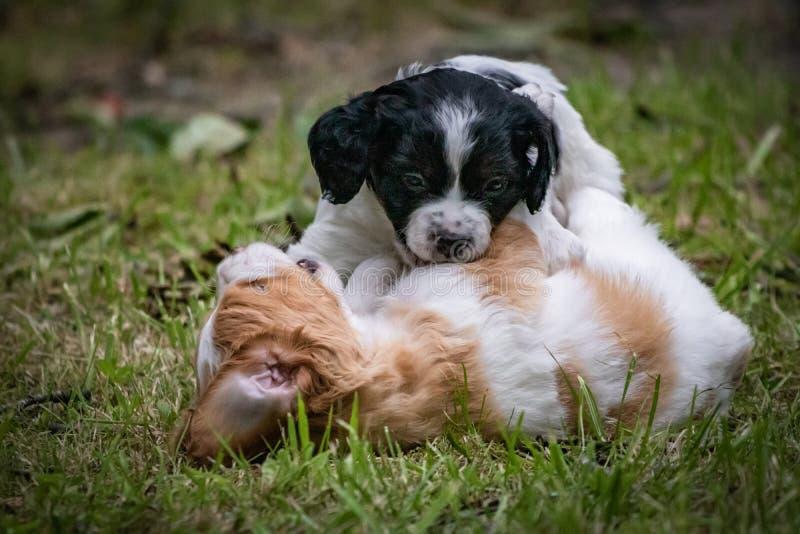 Pares de spaniel de brittany feliz dos cães do bebê que joga ao redor, cheirando-se e afagando fotografia de stock royalty free