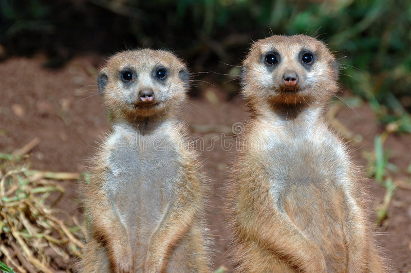 Pares de Suricates. fotografia de stock royalty free