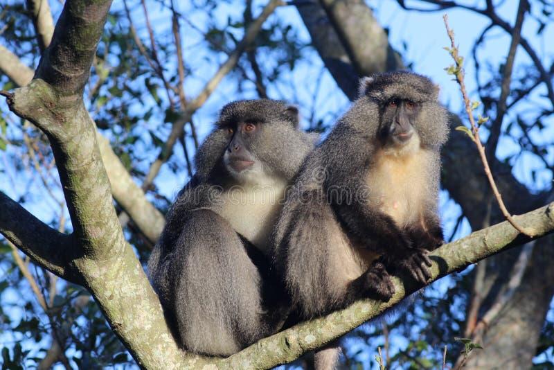 Pares de Sykes Monkey fotos de archivo libres de regalías