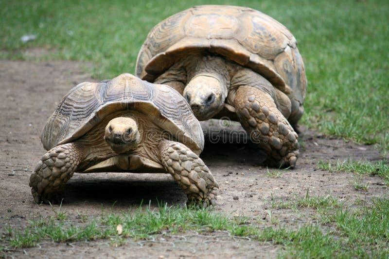 Pares de tartarugas imagens de stock
