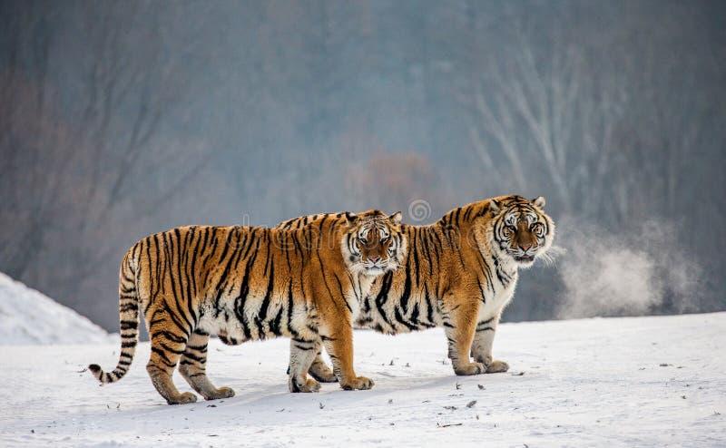 Pares de tigres siberianos en un claro nevoso China harbin Provincia de Mudanjiang Parque de Hengdaohezi foto de archivo