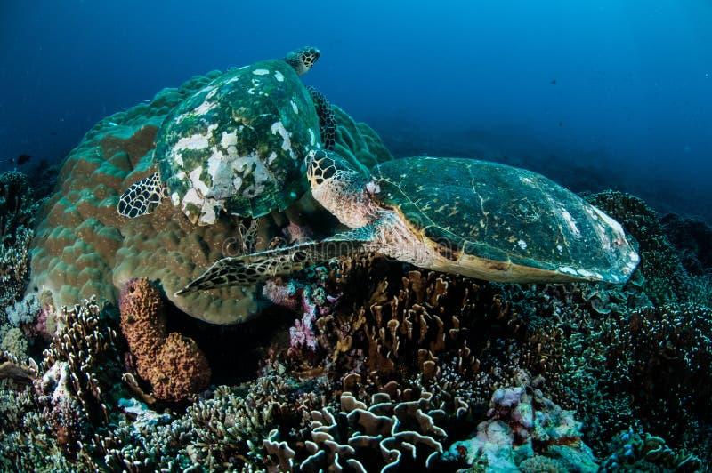 Pares de tortuga de mar del hawksbill que descansa sobre los arrecifes de coral en Gili, Lombok, Nusa Tenggara Barat, foto subacu imágenes de archivo libres de regalías