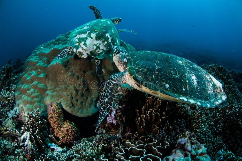 Pares de tortuga de mar del hawksbill que descansa sobre los arrecifes de coral en Gili, Lombok, Nusa Tenggara Barat, foto subacu imagen de archivo libre de regalías