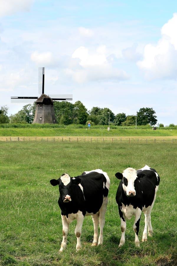 Pares de vacas en paisajes holandeses con el molino imagen de archivo libre de regalías