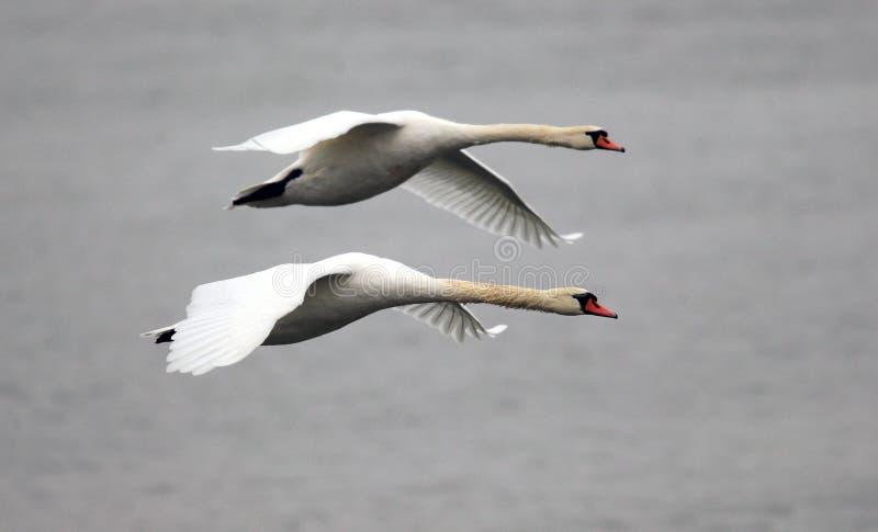 Pares de volar de los cisnes fotografía de archivo libre de regalías