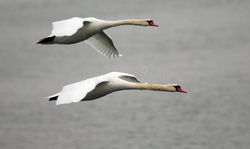 Pares de volar de los cisnes fotos de archivo libres de regalías