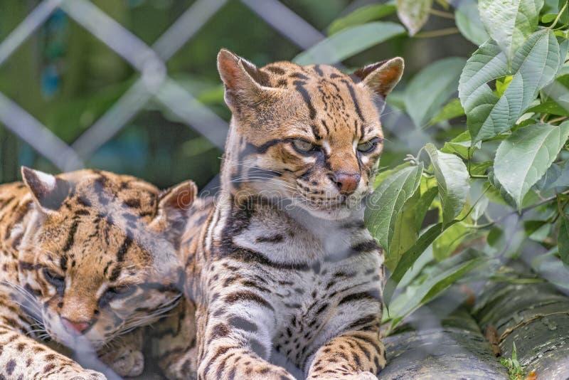 Pares de Wildcats no jardim zoológico fotos de stock royalty free