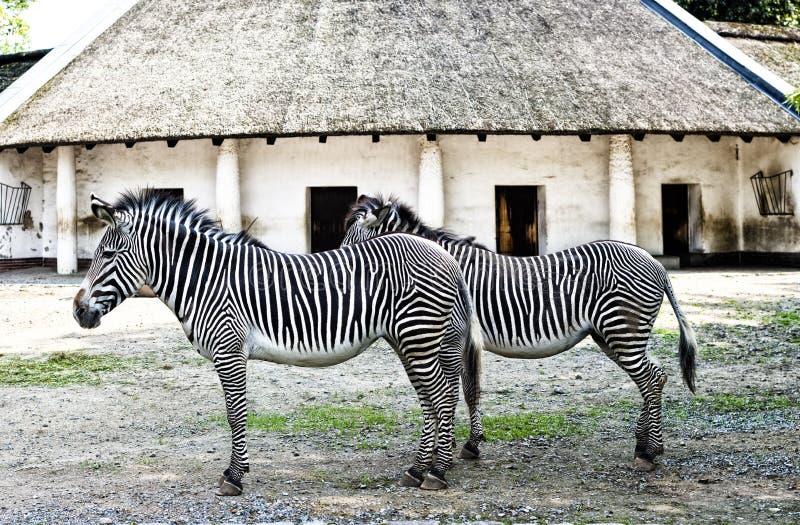 Pares de zebras imagens de stock royalty free