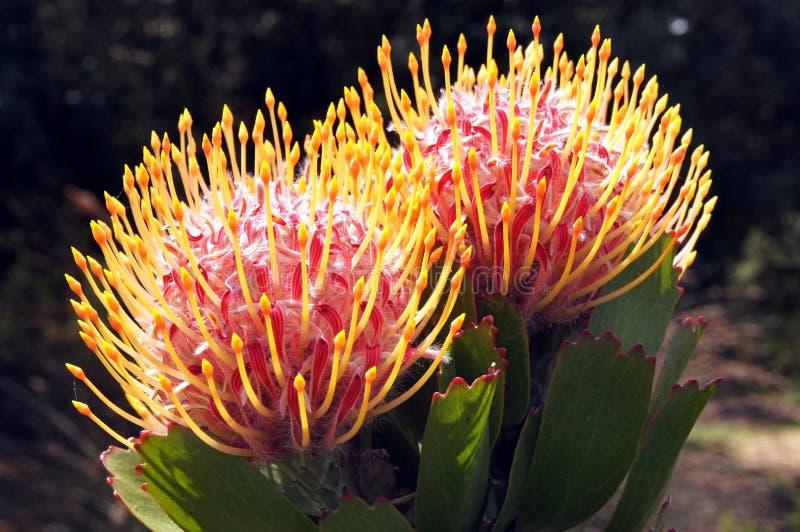 Pares del acerico en los jardines botánicos de Kirstenbosch fotografía de archivo