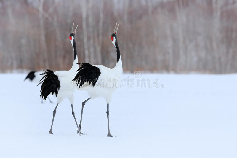 Pares del baile de grúa Rojo-coronada con el ala abierta en vuelo, con la tormenta de la nieve, Hokkaido, Japón Pájaro en la mosc foto de archivo libre de regalías