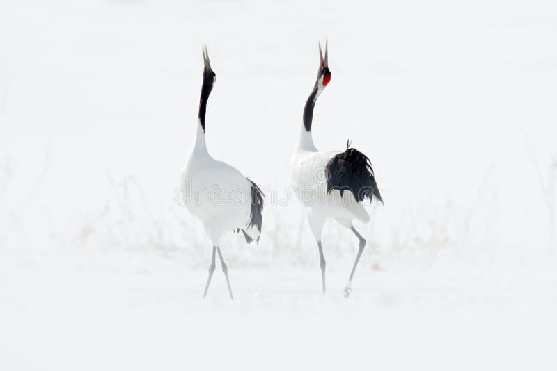 Pares del baile de grúa Rojo-coronada con el ala abierta en vuelo, con la tormenta de la nieve, Hokkaido, Japón Pájaro en la mosc foto de archivo