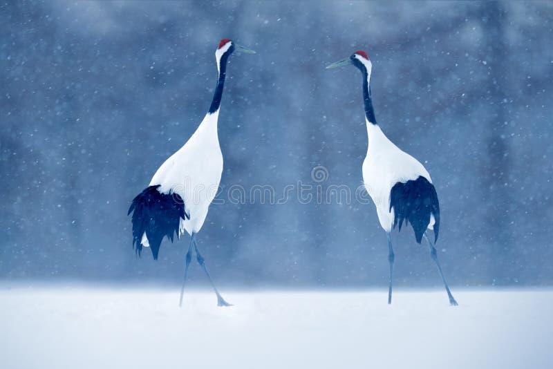 Pares del baile de grúa Rojo-coronada con el ala abierta en vuelo, con la tormenta de la nieve, Hokkaido, Japón Pájaro en la mosc imagen de archivo
