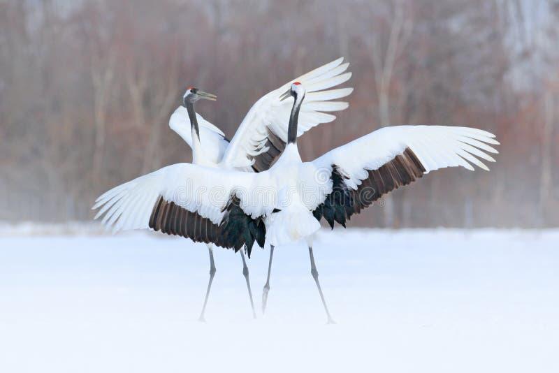 Pares del baile de grúa Rojo-coronada con el ala abierta en vuelo, con la tormenta de la nieve, Hokkaido, Japón Pájaro en la mosc imagenes de archivo