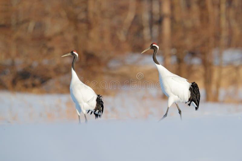 Pares del baile de grúas Rojo-coronadas con, con la ventisca, Hokkaido, Japón Pares de pájaros hermosos, escena de la fauna de la fotos de archivo libres de regalías