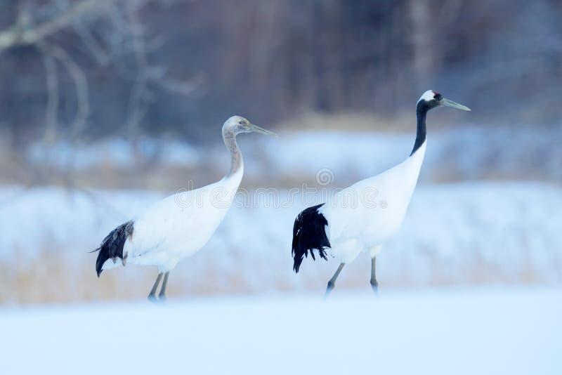 Pares del baile de grúas Rojo-coronadas con, con la ventisca, Hokkaido, Japón Pares de pájaros hermosos, escena de la fauna de la imagen de archivo libre de regalías