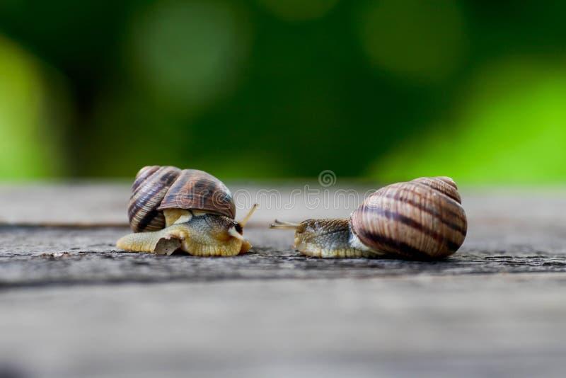 Pares del caracol Analogía del amor del caracol fotografía de archivo